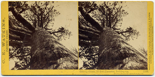#1163 - Grizzly Giant, 33 feet Diameter, looking up, Mariposa Grove, Mariposa Co., Cal.