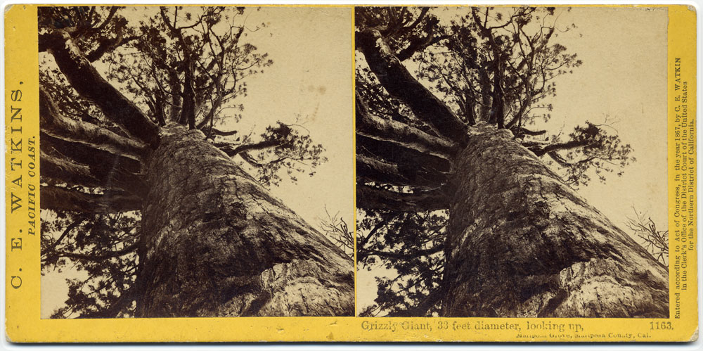 Watkins #1163 - Grizzly Giant, 33 feet Diameter, looking up, Mariposa Grove, Mariposa Co., Cal.