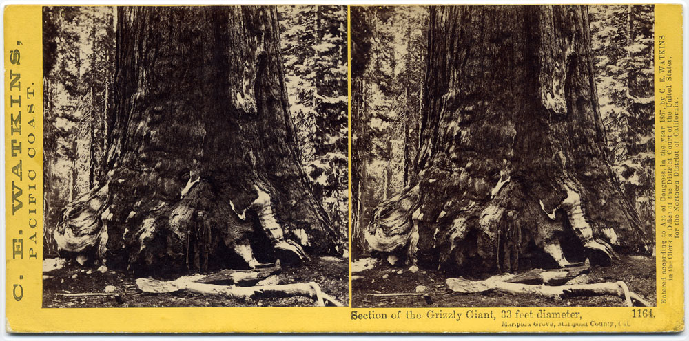 Watkins #1164 - Section of the Grizzly Giant, 33 feet in Diameter, Mariposa Grove, Mariposa Co., Cal.