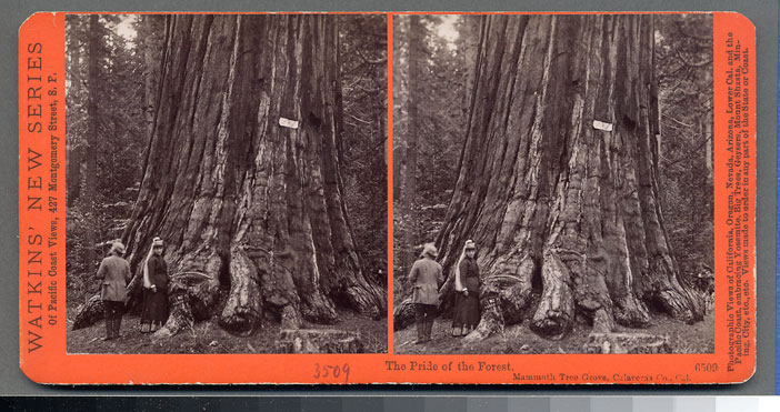 Watkins #3509 - The Pride of the Forest, Mammoth Tree Grove, Calaveras Co., Cal.