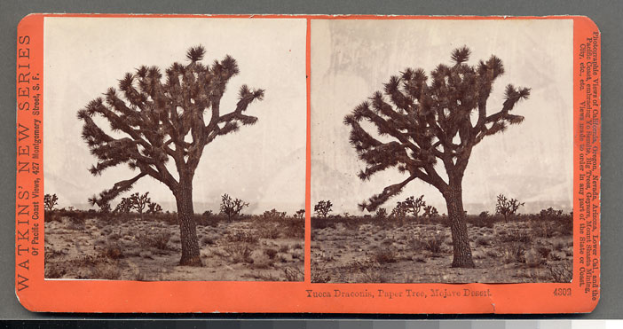 Watkins #4302 - Yucca Draconis, Paper Tree, Mohave Desert, Cal.