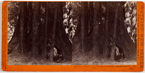 #5005 - Redwood Family, Big Tree Grove, Felton, Santa Cruz Co., Cal.