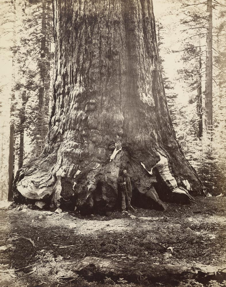 Watkins #113 - Section of the Grizzly Giant with Galen Clark,  Mariposa Grove, Yosemite