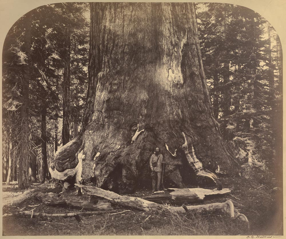 Watkins #111 - Section of the Grizzly Giant,  Mariposa Grove, Yosemite