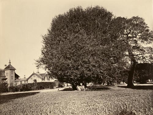 #302 - Residence of Mr. Howard with Laurel Tree Specimen, San Mateo County