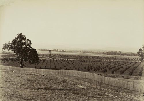 #1142 alt - Young Orchard near Palermo, Butte County