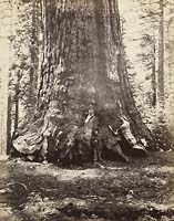 113 - Section of the Grizzly Giant with Galen Clark,  Mariposa Grove, Yosemite