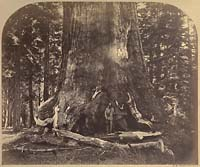 111 - Section of the Grizzly Giant,  Mariposa Grove, Yosemite
