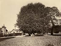 302 - Residence of Mr. Howard with Laurel Tree Specimen, San Mateo County