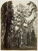 112 - The Grizzly Giant, Mariposa Grove, Yosemite