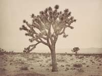 1138 - Paper Tree, Yucca Draconis, Mojave Desert, Los Angeles County