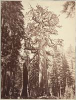 110 - The Grizzly Giant with a Group of Hunters at the Foot of the Tree, Mariposa Grove, Yosemite