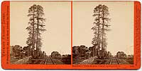 1951 - Redwood Trees at San Francisquito Creek, Menlo Park