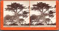 3872 - In the Cypress Groves, Monterey, Cal.