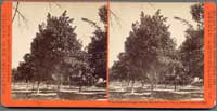 4346 - First bearing Orange Tree in San Ber'no Co., Van Lenvan's Orchard, Cal.