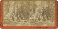 94 - Section of the Grizzly Giant, 33 feet diameter, Mariposa Grove, Mariposa County, Cal.